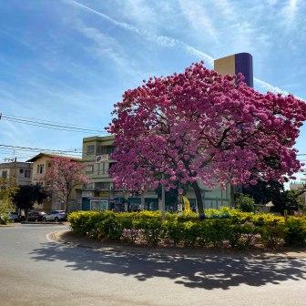 Lindo ipê rosa fotografado por Francisco Martins, no dia 3 de agosto, na Rua Dr. Júlio Otaviano Ferreira, em Belo Horizonte.