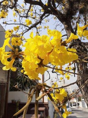 Ipê amarelo de Mariana Gois, na zona norte de São Paulo (SP).