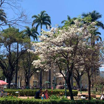 Ipê na Praça da Liberdade. Foto: Raquel Freitas, início de setembro.