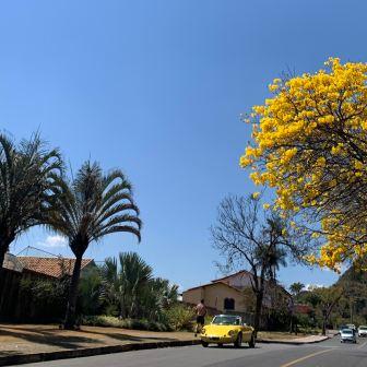 Ipê no Mangabeiras, em BH. Foto: Raquel Freitas, início de setembro.