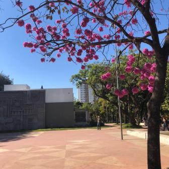 Ipê na praça da Assembleia, em BH. Foto: CMC, julho/2021