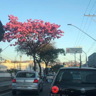 Ipê na avenida Pedro II, em BH. Foto: CMC, julho/2021