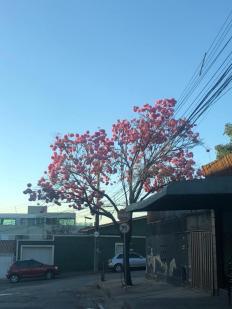 Ipê no bairro Aparecida, em BH. Foto: CMC, julho/2021