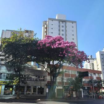 Ipê na av. do Contorno, em BH. Foto: Beto Trajano, julho/2021