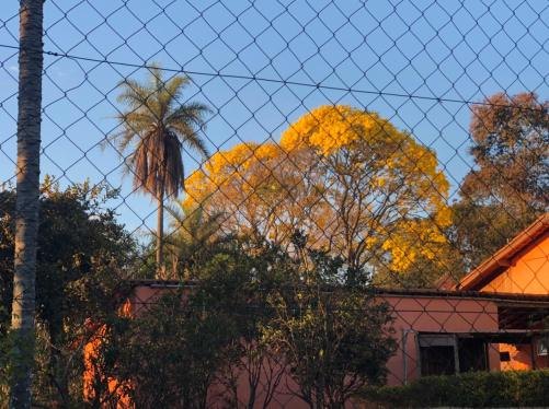 Lindo ipê amarelo fotografado em Juatuba (MG), em 8.8.2021. Foto: CMC