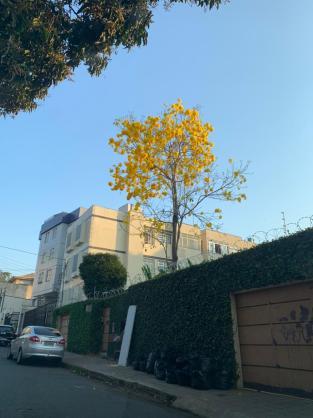 Ipê Amarelo no bairro Santa Tereza, em BH. Foto de Marina Borges no dia 29.8.2021.