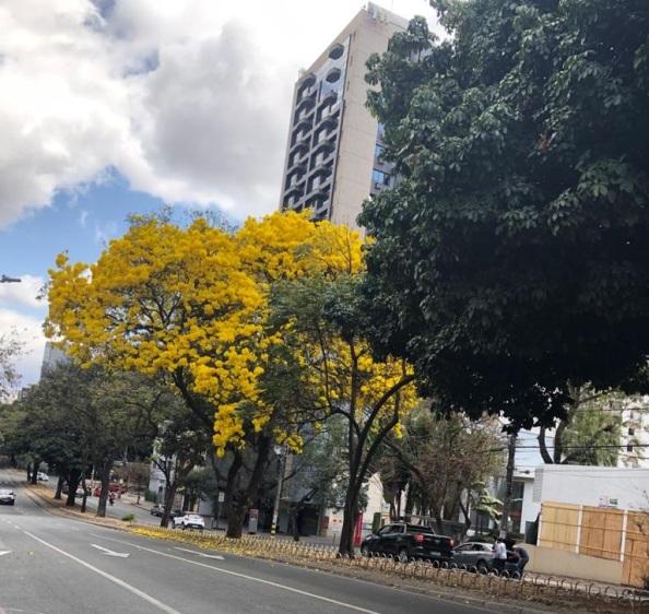 Lindo ipê flagrado na avenida Getúlio Vargas pela Carine Tavares, em 29.8.2021.