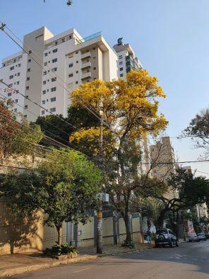Ipê em rua do bairro Santo Antônio, em BH. Foto: CMC, 8/9/2021