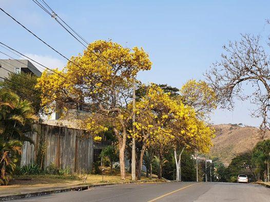 Ipê em rua do bairro Mangabeiras, em BH. Foto: CMC, 8/9/2021