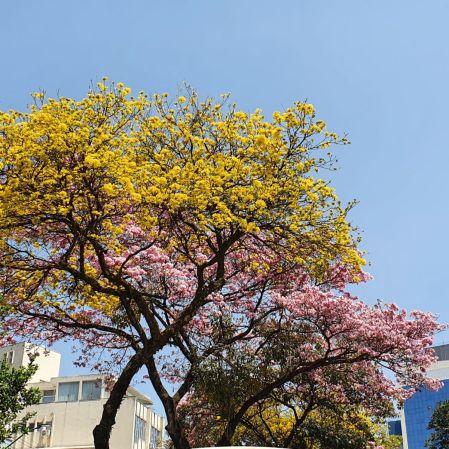 Ipês amarelo e rosa, em foto de Beto Trajano, em setembro/2021. Avenida do Contorno, Savassi, BH.