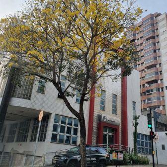 Ipê amarelo na rua Carangola, esquina com Contorno, bairro Santo Antônio, em BH. Foto: Beto Trajano, setembro de 2021.