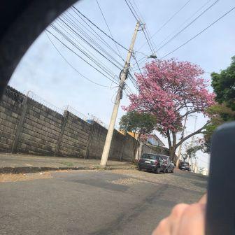 Do retrovisor: ipê rosa no bairro Caiçara, em BH. Foto: CMC, em setembro de 2021.